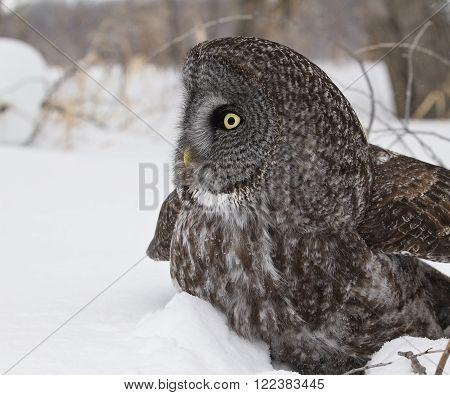 Close up, profile image of a Great Grey Owl in snow.  Provincial bird of Manitoba, Canada.