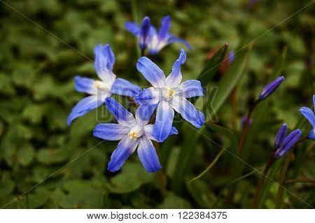 Scilla shining little blue flower flourishing in spring suitable as a background with the Latin name SCILLA forbesii