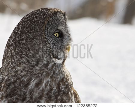 Close up, head and shoulders profile image of a Great Gray Owl.  Provincial bird of Manitoba, Canada.