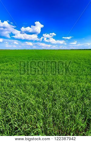 wheat agriculture green field and blue sky