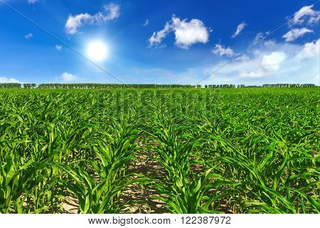 corn agriculture green field and blue sky