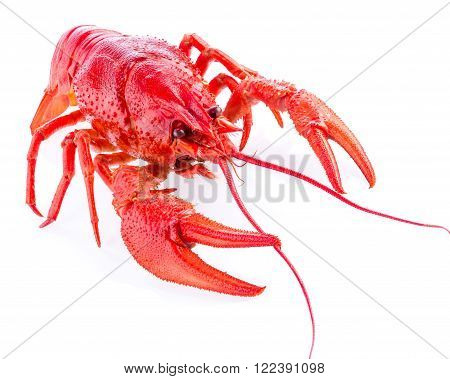 a red crayfish isolated on white close-up macro