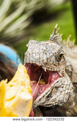How to feed iguana, Guayaquil province, Ecuador