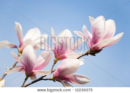 purple magnolia flowers on clear sky
