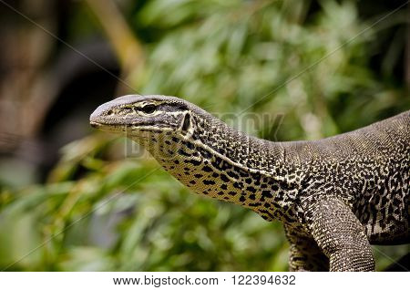 this is a close up of a monitor lizards