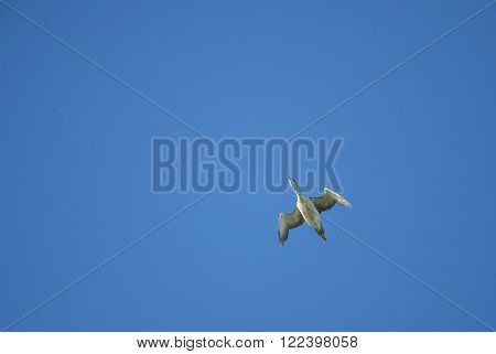 Common Loon (Gavia immer) in flight directly overhead