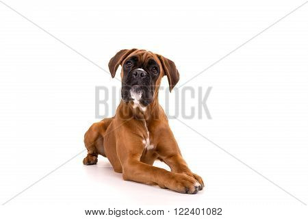 A beuatiful boxer puppy posing isolated over white