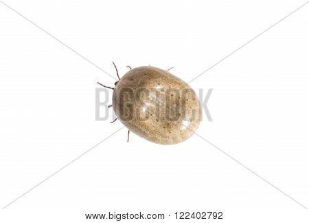 Top view of a tick on white background
