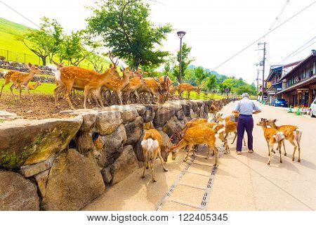 Old Man Feeding Nara Deer Herd