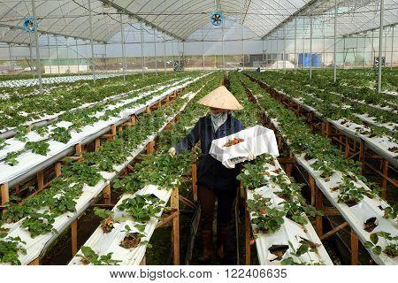 Worker, Strawberry Garden, Dalat, Da Lat