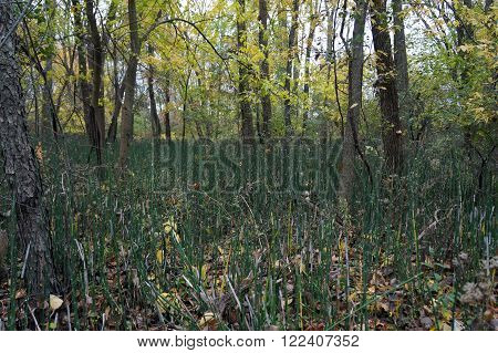 Equisetum hyemale, commonly known as rough horsetail, scouring rush, and scouringrush horsetail, grows in the Lake Renwick Heron Rookery Nature Preserve in Plainfield, Illinois.