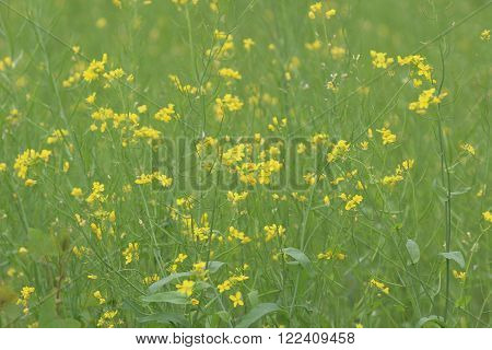 Yellow Green Field In Spring