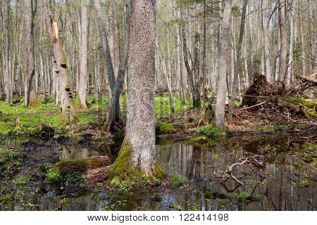 Fresh Stand Of Bialowieza Forest In Spring