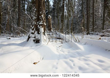 Snowfall after deciduous stand in morning with snow wrapped trees and old linden in foregroundBialowieza ForestPolandEurope