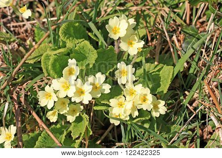Primroses growing on a bank in the spring