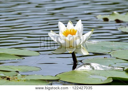 The lonely waterlily in a pond among green leaves