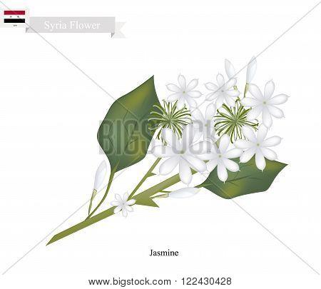 Syria Flower Illustration of White Jasmine Flowers. The National Flower of Syria.