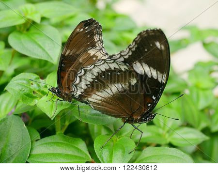 Two butterfly are breeding on green leaf in the garden