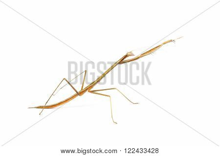 Brown playing mantis action on white background