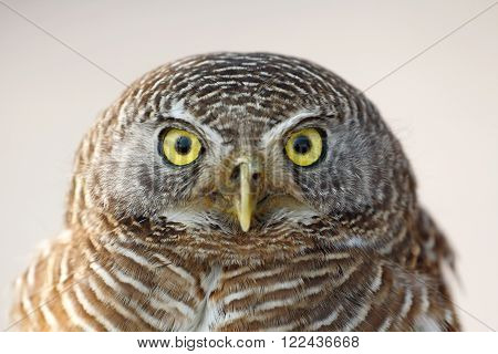 Asian barred owlet (Glaucidium cuculoides) resident in Indian Subcontinent and Southeast Asia