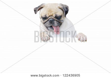 Isolated cute puppy dog pug look down with copy scape for label