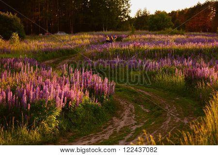 Beautiful Bright Rich Field Of Lupin
