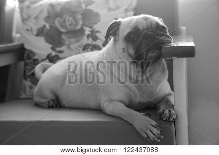 Cute lonely dog puppy pug sad and sit on sofa wait someone .