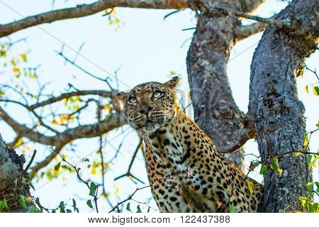 Leopard in a tree in the Sabi Sands, South Africa.