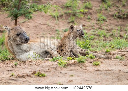 Spotted hyena cub with the mother in the Kruger National Park, South Africa.