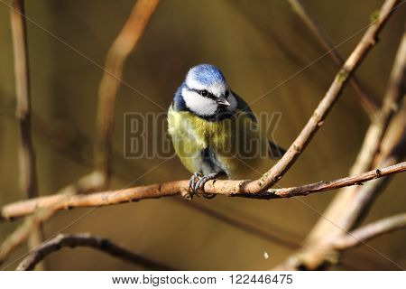 Blue tit sat on branch in sun light