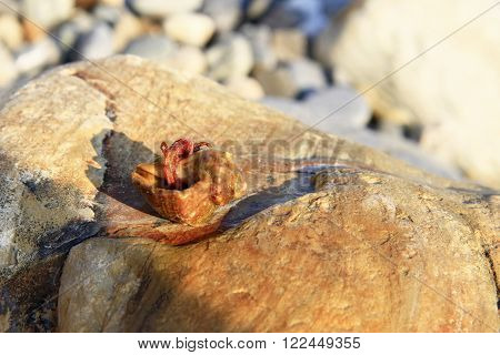 Hermit Crab inside ? smalll sea snail shell on the stone on the shore