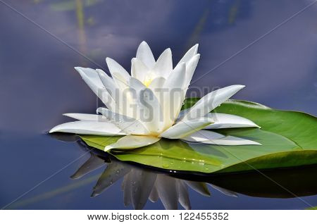 Beautiful waterlily in the lake in a morning mist