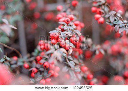 Red Berries On The Bush