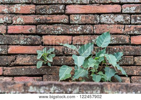 Plant and Bodhi tree on the old wall background