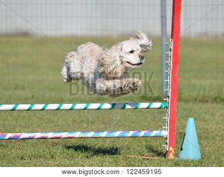 American Cocker Spaniel Leaping Over a Jump at a Dog Agility Trial
