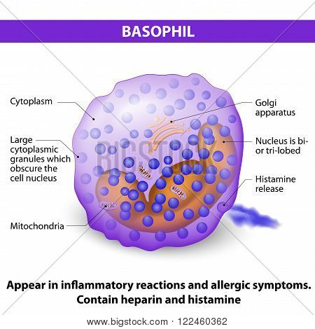 Basophil. type of White Blood Cell that responsible in inflammatory reactions and allergic symptoms. Contain heparin and histamine. Characteristics and structure of lymphocytes
