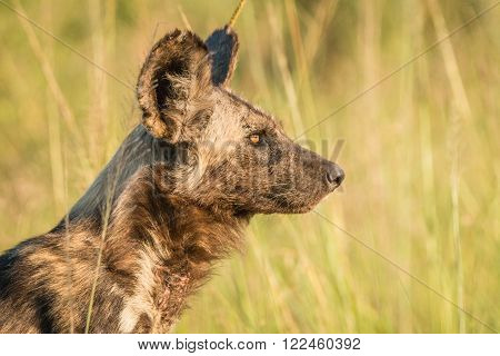 African wild dog in the golden light in the Kruger National Park, South Africa.