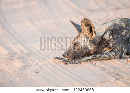 African wild dog laying in the sand in the Kruger National Park, South Africa. ** Note: Visible grain at 100%, best at smaller sizes