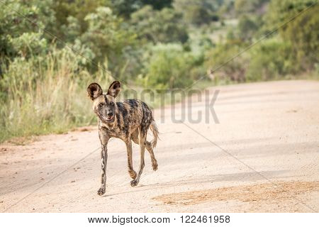 Running African wild dog in the Kruger National Park, South Africa. ** Note: Visible grain at 100%, best at smaller sizes