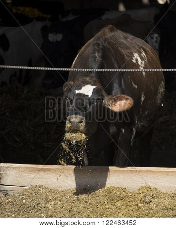 A dairy cow eating silage out of a trough.