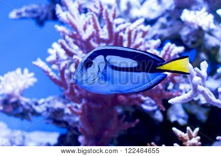Blue surgeon fish in an aquarium on a background of corals and blue water