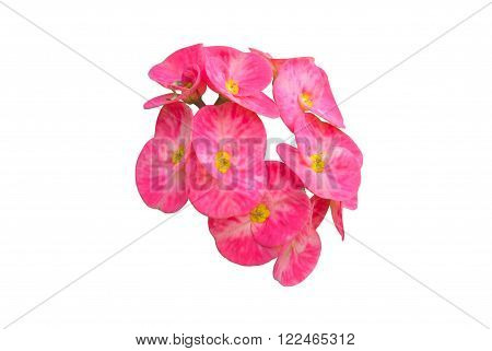 Poi sian flowers Red Christ Thorn flower or euphorbia milii flowers ;White Poi Sian flowers isolate on white background