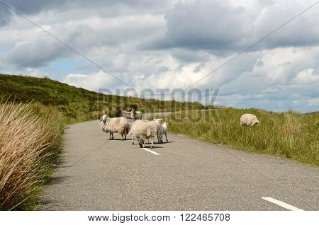 Sheep in the middle of the road in the Wicklow mountains in Ireland.