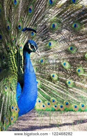 Blue peacock with its colorful tail fully opened
