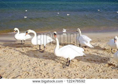 Swans On The Sea