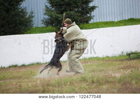 Omsk, Russia - August 22, 2014: Canine Center Training. German shepherd fighting with man in special uniform