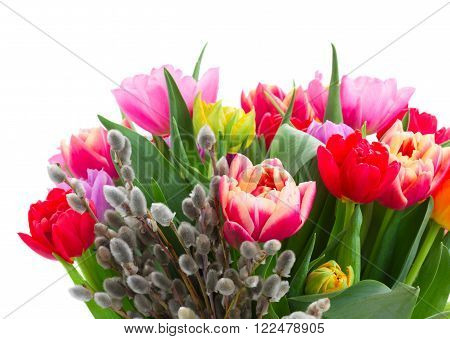 fresh pink, purple and red  tulips with catkins isolated on white background