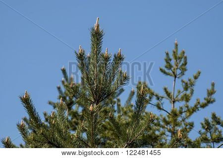 Christmas background with pine or pinus tree branch and sky, Sofia, Bulgaria