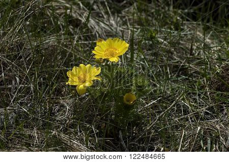 Beautiful yellow flowers of Adonis vernalis, Murgash mountain, Bulgaria