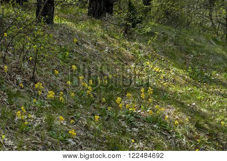 Primula veris  (Cowslip). Common in the fields and lawns of Murgash mountain, Bulgaria